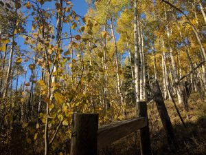 a grove of aspen trees with gold leaves