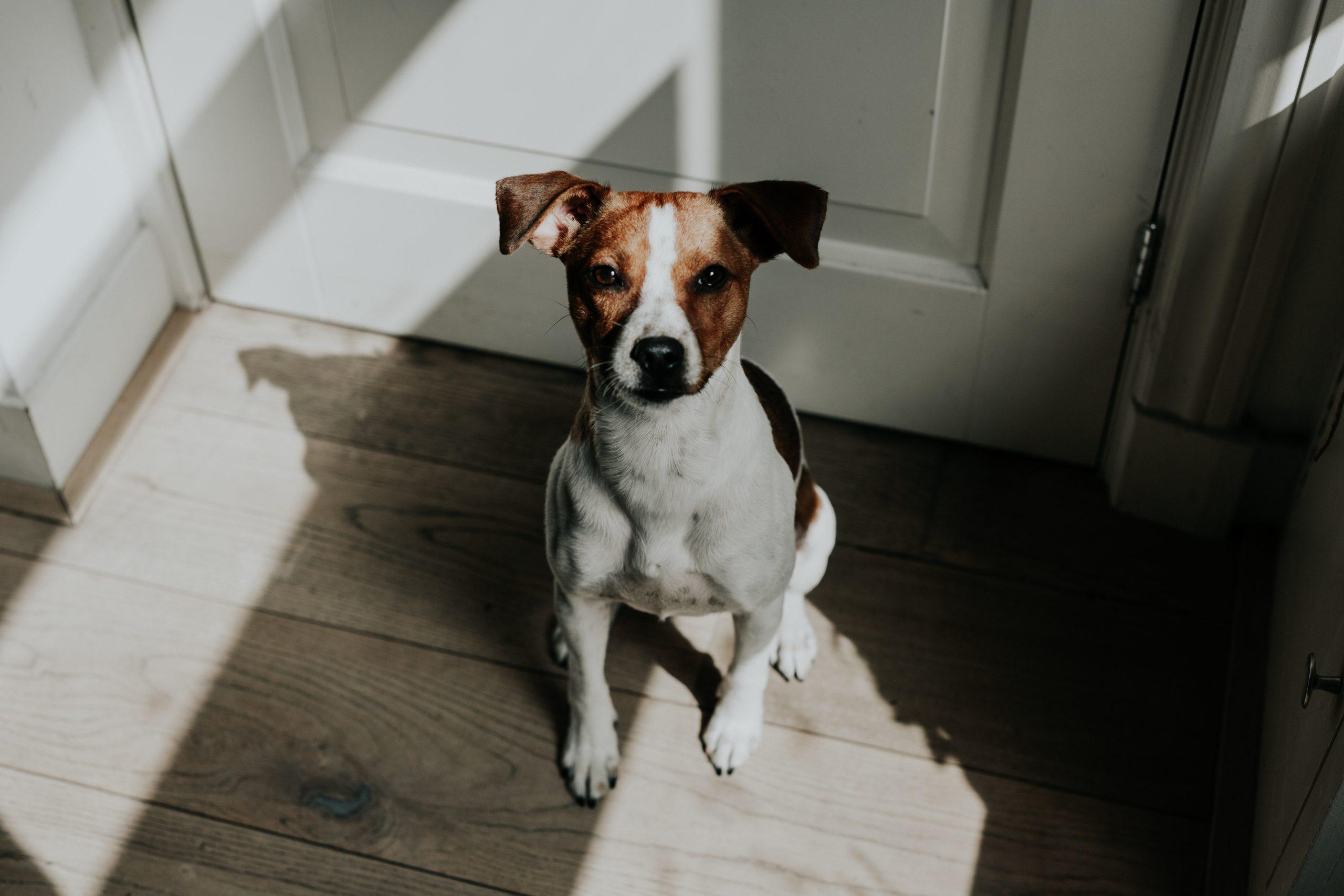 Small dog sitting on wood floor